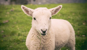Access free useful sheep resources at Sheepvet.net