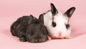 New strain of Rabbit Viral Haemorrhagic Disease