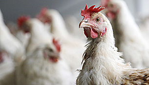 Update on Avian Influenza