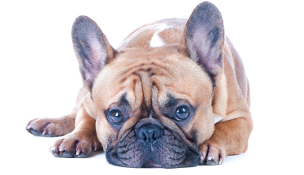 Brachycephalic update from the BSAVA
