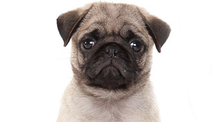 New study on pugs identifies further challenges faced by this breed