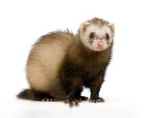COVID-19: Updated Government Advice on Pets & Ferrets