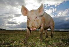 African swine fever disease contingency plans tested through UK-wide exercise